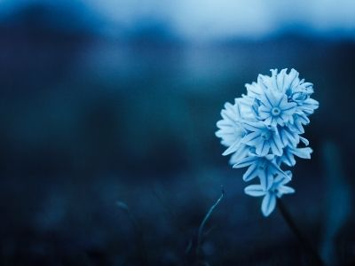Peaceful blue flower